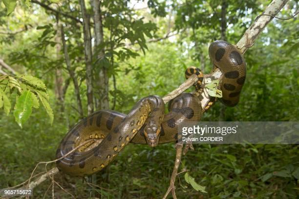 Amerique du SudBresil etat d'Amazonas bassin du fleuve Amazone Anaconda South AmericaBrazil Amazonas state Manaus Amazon river basin Anacondagreen...