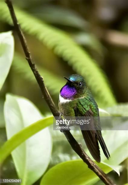 amethyst throated sunangel hummingbird - tropical bird stock pictures, royalty-free photos & images