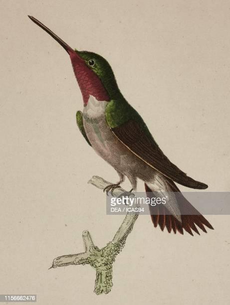 Amethyste du Mexique male adult colored engraving by Oudet after an illustration by Pretre Plate 63 from Les trochilidees ou les colibris et les...