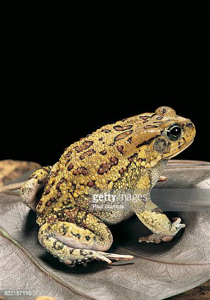 Amietophrynus garmani (Garman's toad)