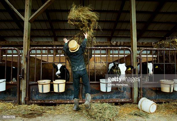 Amish boy John Stoltzfus throws hay to some cows October 22 2003 in Wakefield Pennsylvania The Amish traditionalist farmers who spurn machinery and...
