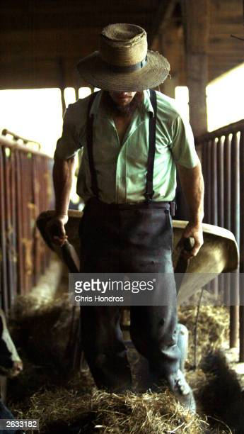 Amish farmer Daniel Stoltzfus drags a wheelbarrow though one of his barns October 22 2003 in Wakefield Pennsylvania The Amish traditionalist farmers...