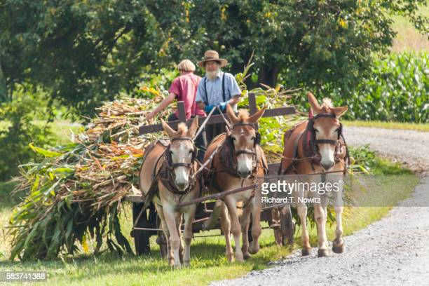 Amish farmer hauls corn harvest