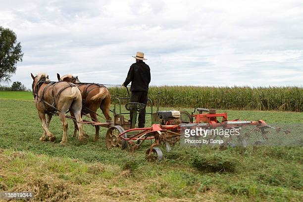 Amish harvest with horses