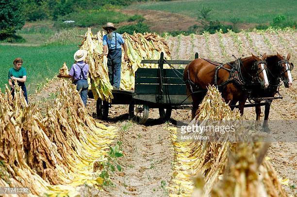 Amish people load freshly cut tabacco leafs onto a wagon August 29 2006 in Hughesville Maryland Corn and tobacco is generally harvested in the last...
