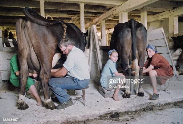 Amish People Milking Cows in a Barn Pictures | Getty Images