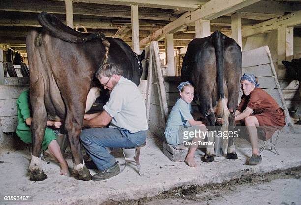 Amish People Milking Cows in a Barn