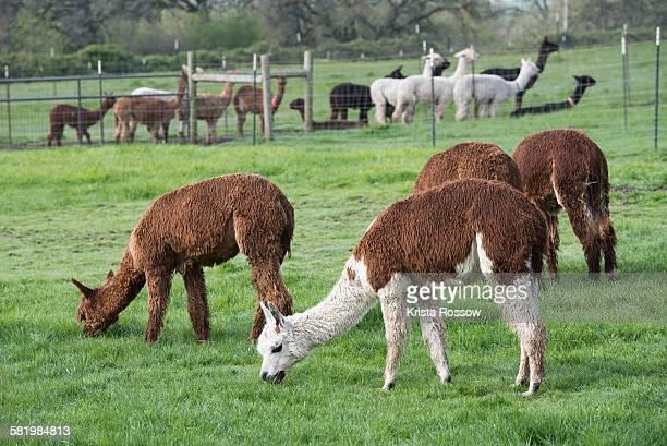 Alpacas graze in a green pasture outside of Amity, Oregon.