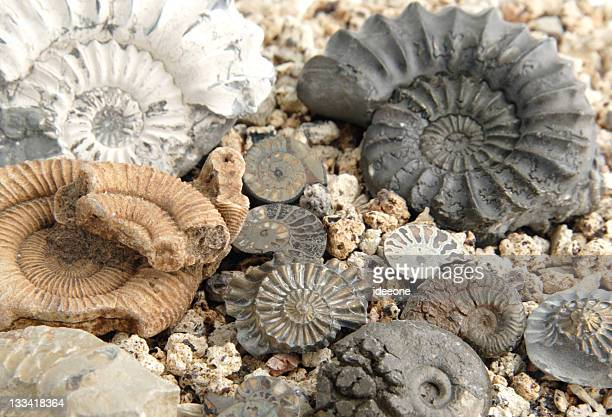 ammonite collection - ammonite stock photos and pictures
