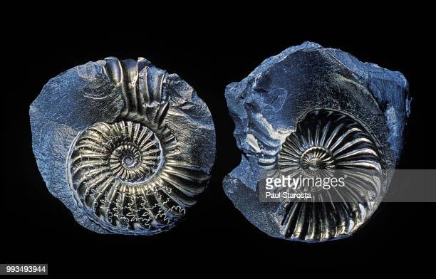 ammonite fossil - ammonite stock photos and pictures