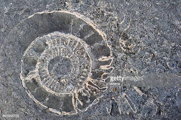 Ammonite fossils embedded in rock on beach at Pinhay Bay near Lyme Regis along the Jurassic Coast Dorset southern England UK