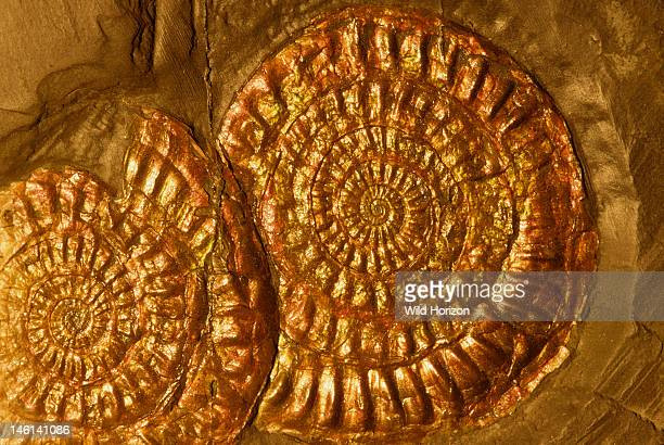 Ammonite fossils with iridescent shell layer intact Ammonoidea species Jurassic Period 144 to 208 million years ago Lyme Regis Dorset England UK