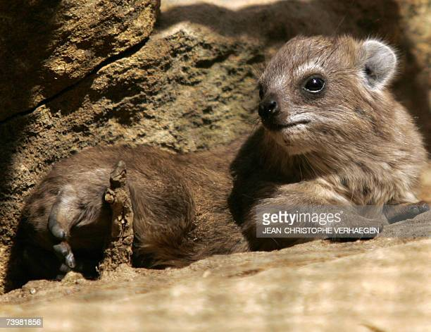 Picture taken 26 April 2007 of a recentlyborned rock hyrax at the zoo in Amneville eastern France AFP PHOTO JEANCHRISTOPHE VERHAEGEN