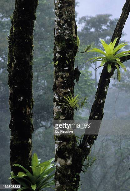 bromeliads. epiphytes, monteverde cloud forest, costa rica.  among the most conspicuous epiphytes of the tropical rainforest.  bromeliaceae (pineapple family). - epiphyte stock pictures, royalty-free photos & images