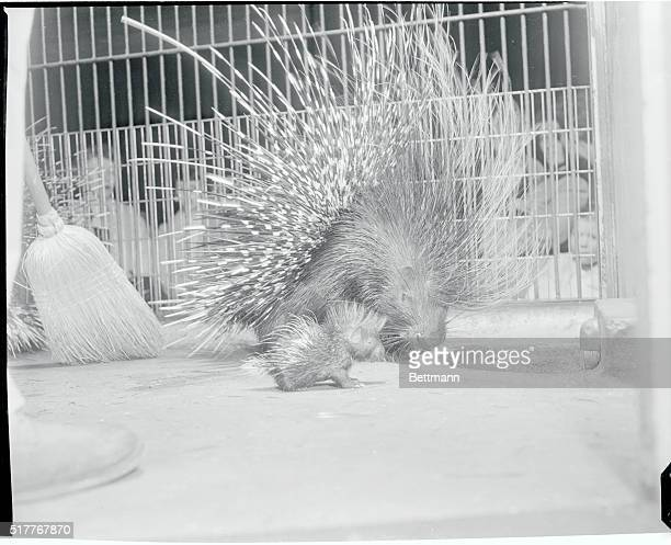 Among the notsopretty residents of the Washington Zoo is a mama porcupine with her barbed quills in alert position guarding her threedayold offspring