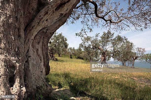 Tra gli alberi di ulivo