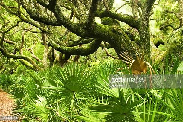 amongst the trees - live oak tree stock pictures, royalty-free photos & images