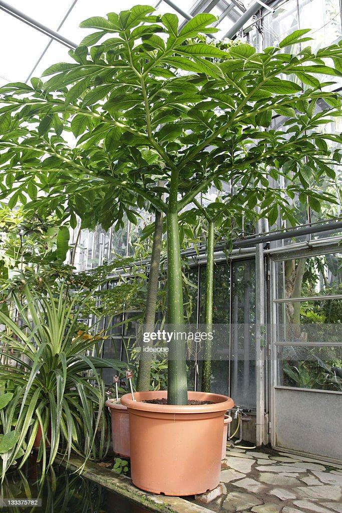 Amorphophallus titanum : Stock Photo