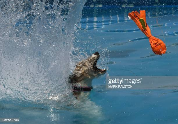 Amp the dog tries to catch a toy during the Splash Dogs competition heats at America's Family Pet Expo in Costa Mesa California on April 28 2018