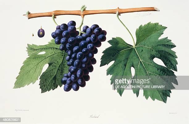 Ampelography Grape Poulsard