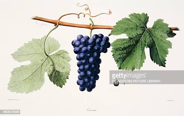 Ampelography Grape Trousseau