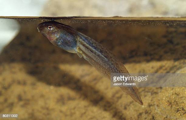 A Spotted Grass Frog Tadpole with its rear leg and toes just visible.