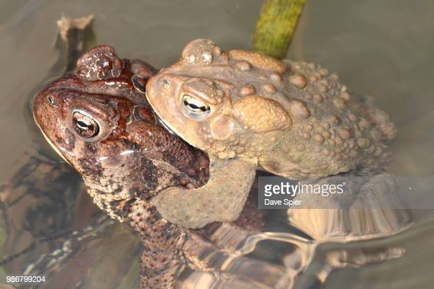 amplexus in american toads, montezuma, ny - cane toad stock pictures, royalty-free photos & images