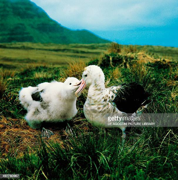 Amsterdam albatross or Amsterdam Island albatross Diomedeidae French Southern and Antarctic Lands