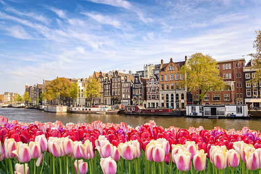 Amsterdam city skyline at canal waterfront with spring tulip flower, Amsterdam, Netherlands 918640178