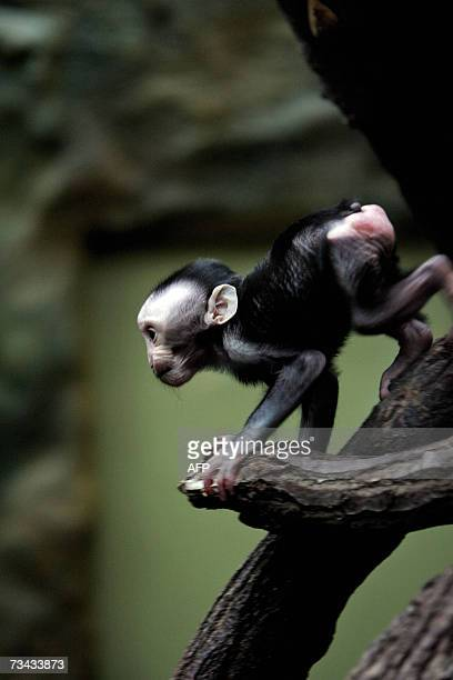 A baby crested macaque Jaki plays 27 February 2007 in Amsterdam's Artis Zoo Several Dutch regions have school vacations and many people are visiting...