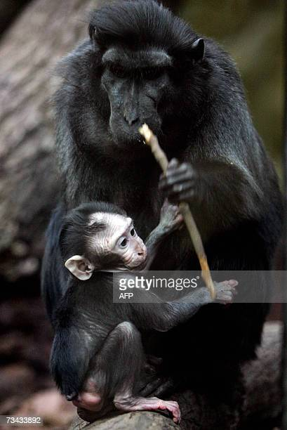 A baby crested macaque Jaki plays with one of his group 27 February 2007 in Amsterdam's Artis Zoo Several Dutch regions have school vacations and...