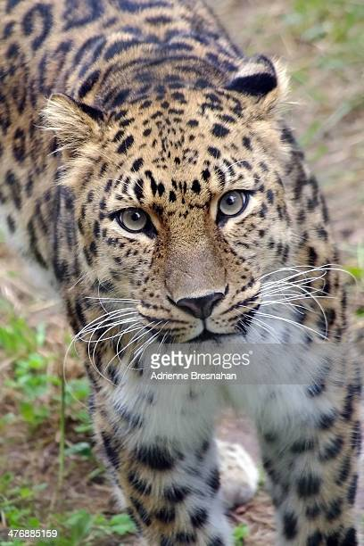 Amur leopard at Turtle Back Zoo, West Orange, New Jersey.