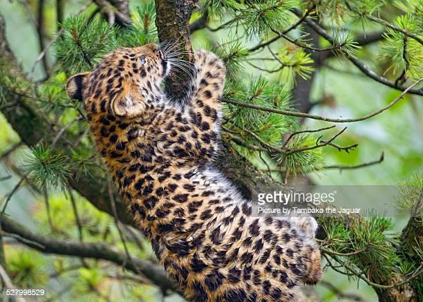 Amur leopard cub climbing on the branch