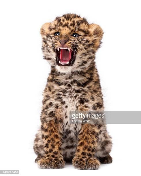 Amur leopard cub - Panthera pardus orientalis