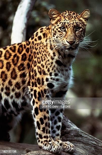 Amur leopard Felids