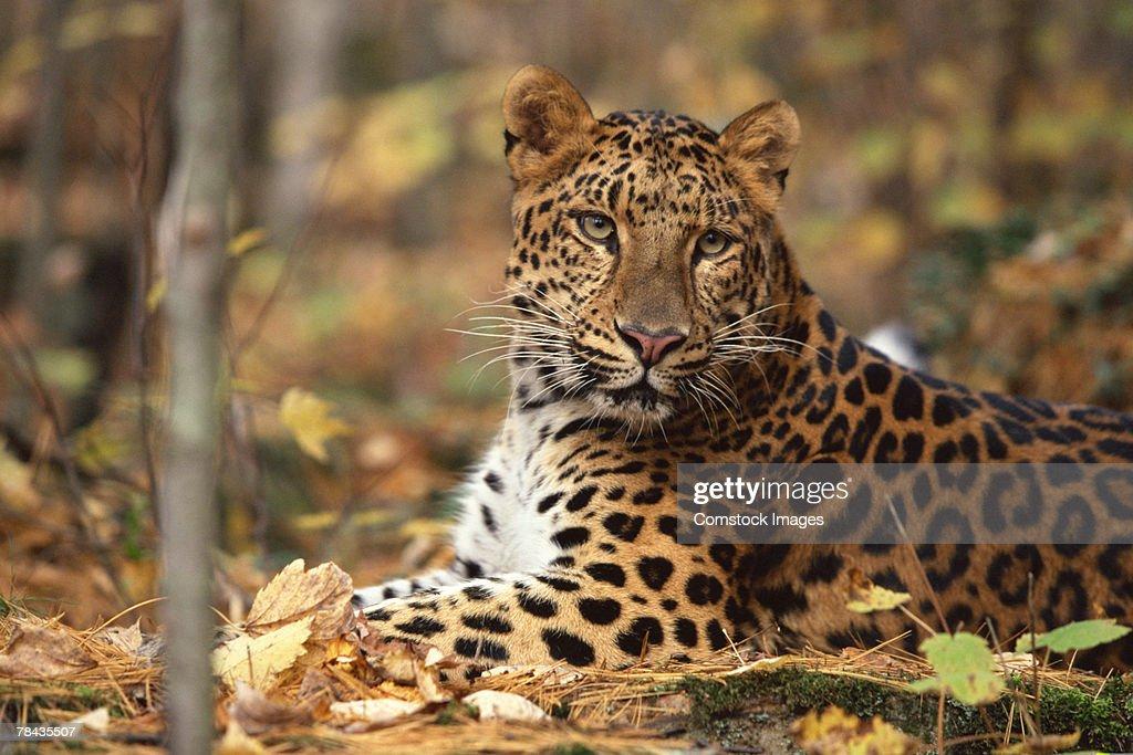 Amur leopard lying down , Siberia : Stockfoto