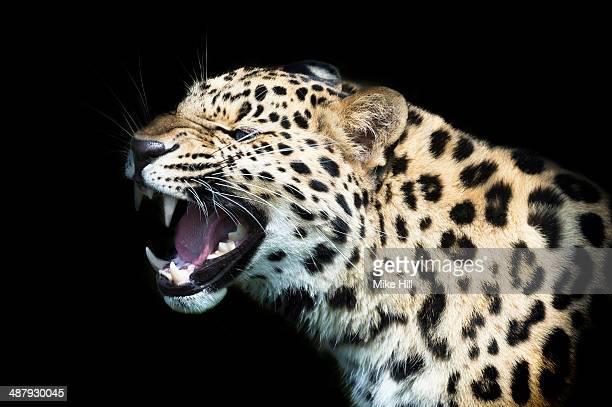 Amur Leopard on black background growling