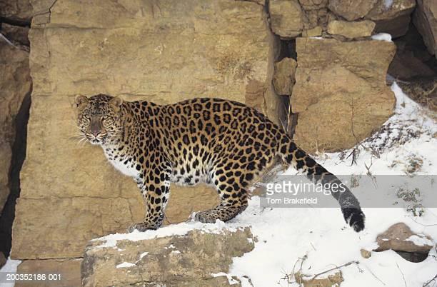 Amur leopard (Panthera pardus orientalis) on snowy cliff, Siberia, Asia