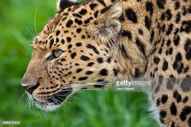 Amur leopard - Panthera pardus, controlled conditions