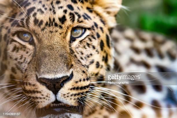 el amur leopard - especies amenazadas fotografías e imágenes de stock