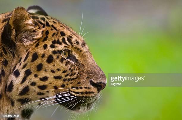 Amur Leopard (Panthera pardus orientalis), portrait