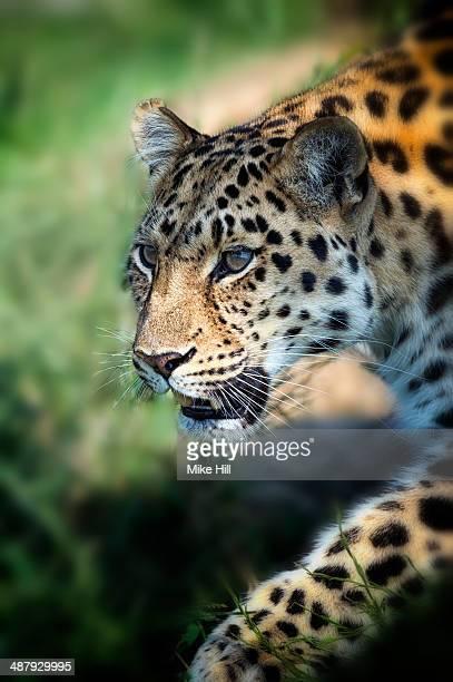 Amur Leopard prowling