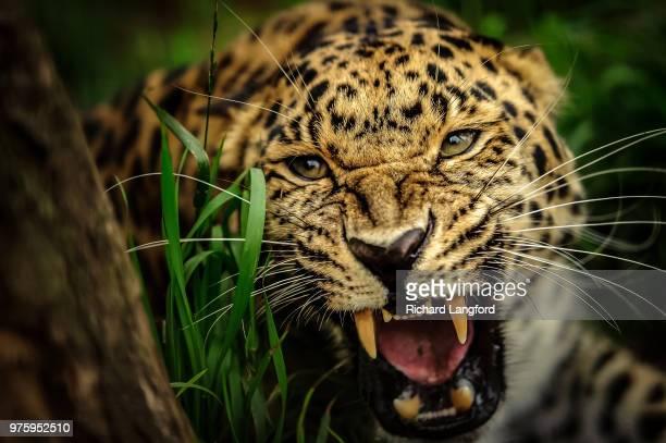 Amur leopard roaring (Panthera pardus orientalis)
