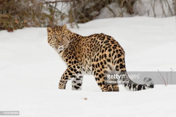 Amur Leopard (Panthera pardus orientalis) walking in snow in winter, Primorye region, Russia