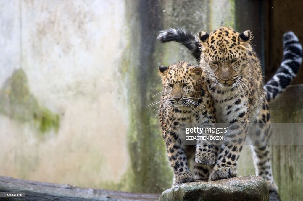 FRANCE-ANIMALS-LEOPARD : News Photo