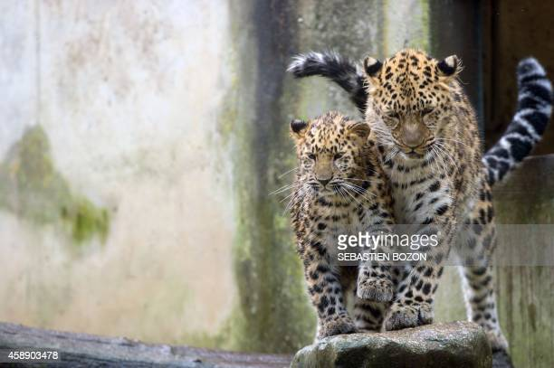 Amur leopards are pictured on November 13 at the zoo in Mulhouse eastern France AFP PHOTO SEBASTIEN BOZON