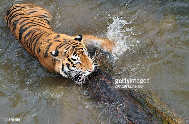 Amur the tiger gnaw on log in Kiev Zoo during warm summer day in the Ukrainian capital of Kiev on September 17 2010 SERGEI SUPINSKY