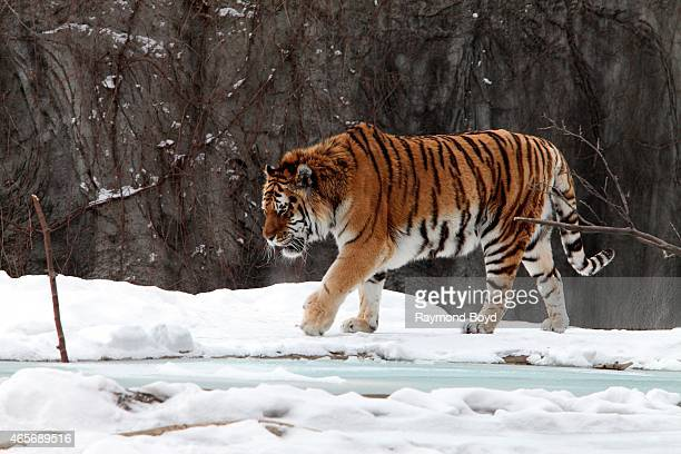 Amur Tiger at the Detroit Zoo on March 01 2015 in Royal Oak Michigan