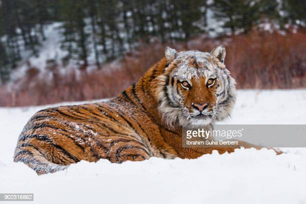 amur tiger is looking backwards - hairy bush stock pictures, royalty-free photos & images