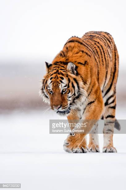 Amur tiger is looking for something tasty